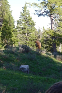 elk just chillin'
